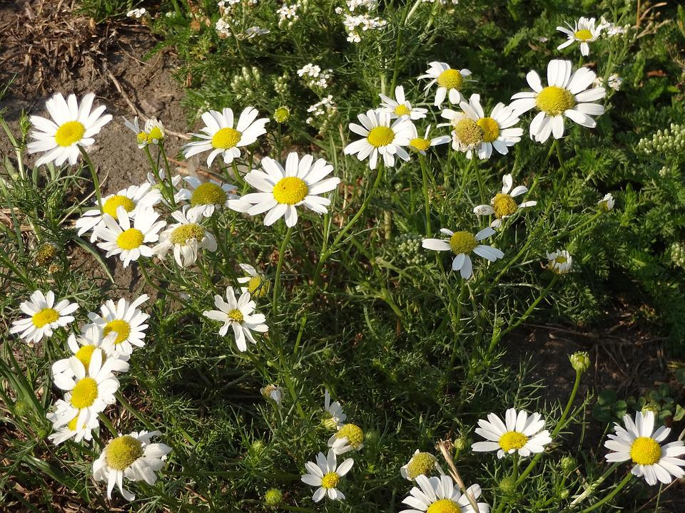 Daisy, Flower, White, Nature, Community, The Leaves Are