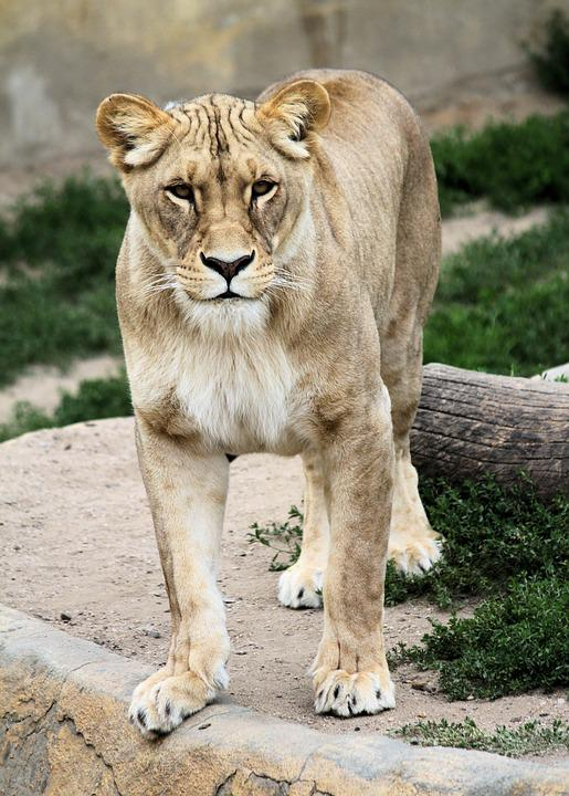 Lioness, The Lion, Beast, Feline, Standing, View