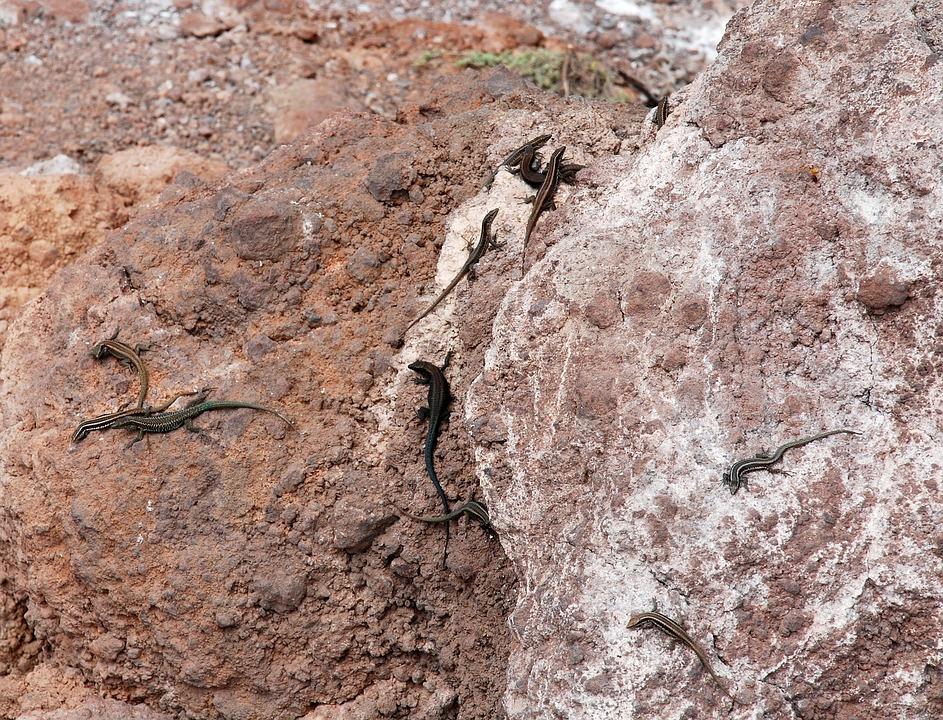 The Lizard, Rock, Animal, Animals, Nature