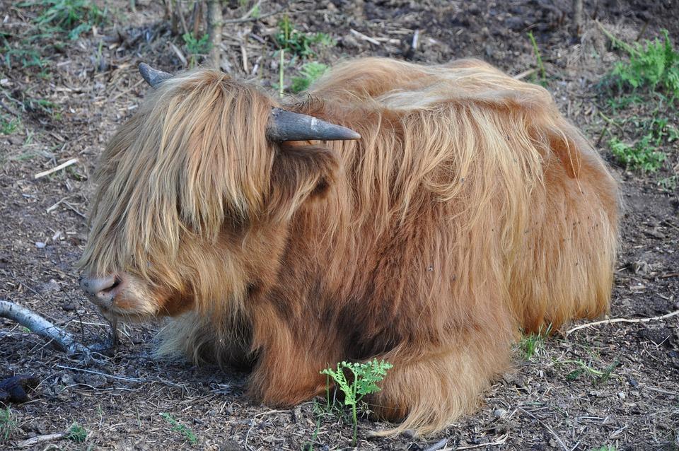 Animal, Horns, The Mane, Coat
