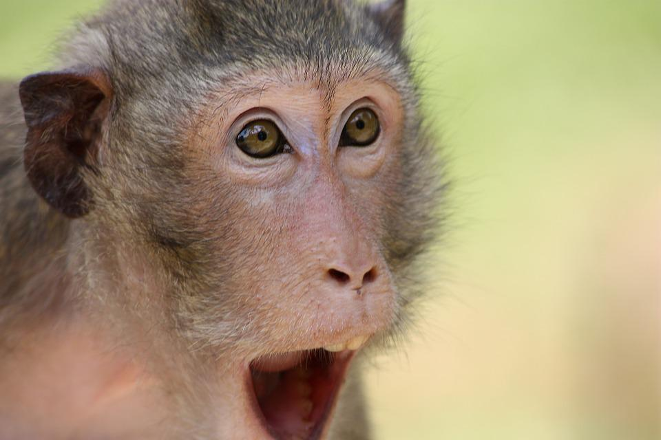 The Monkey, Animal, Zoo, The Surprise, Surprise