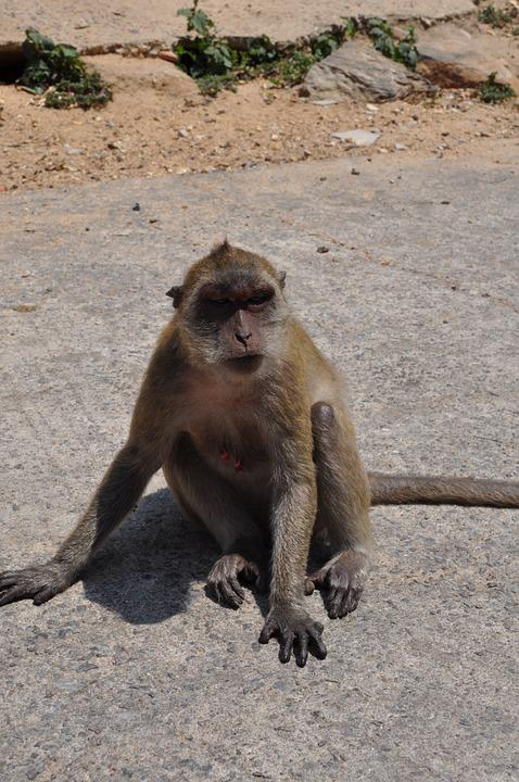 The Monkey, Thailand, Animal