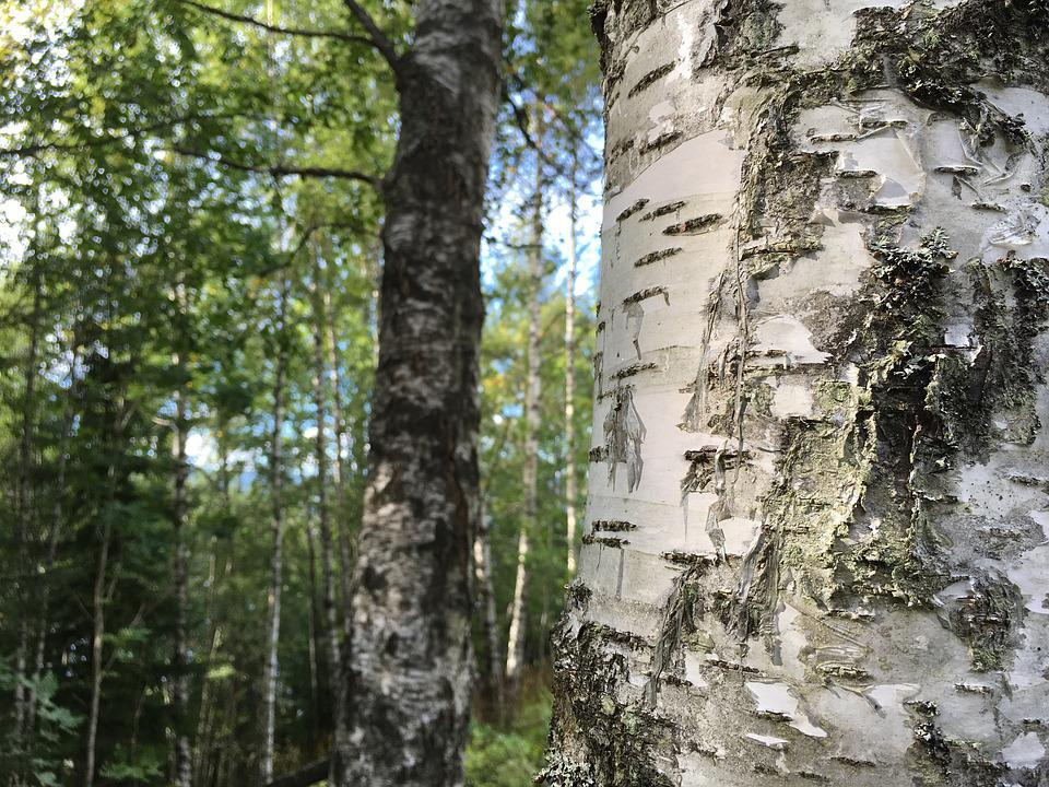Forest, Birch, Three, The Nature Of The, Old Wooden