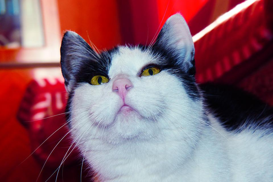 Cat, Curiously, Female, Kitty, The Nose, Mustache, Eyes