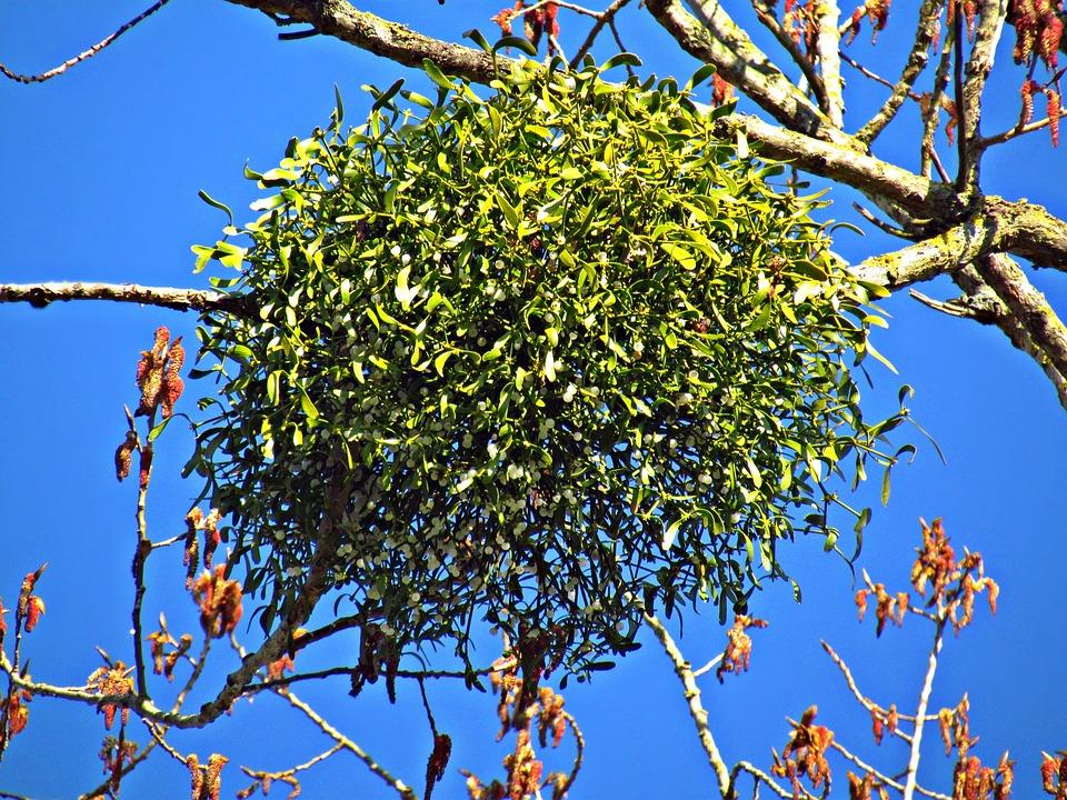 Mistletoe, Tree, The Parasite, Nature