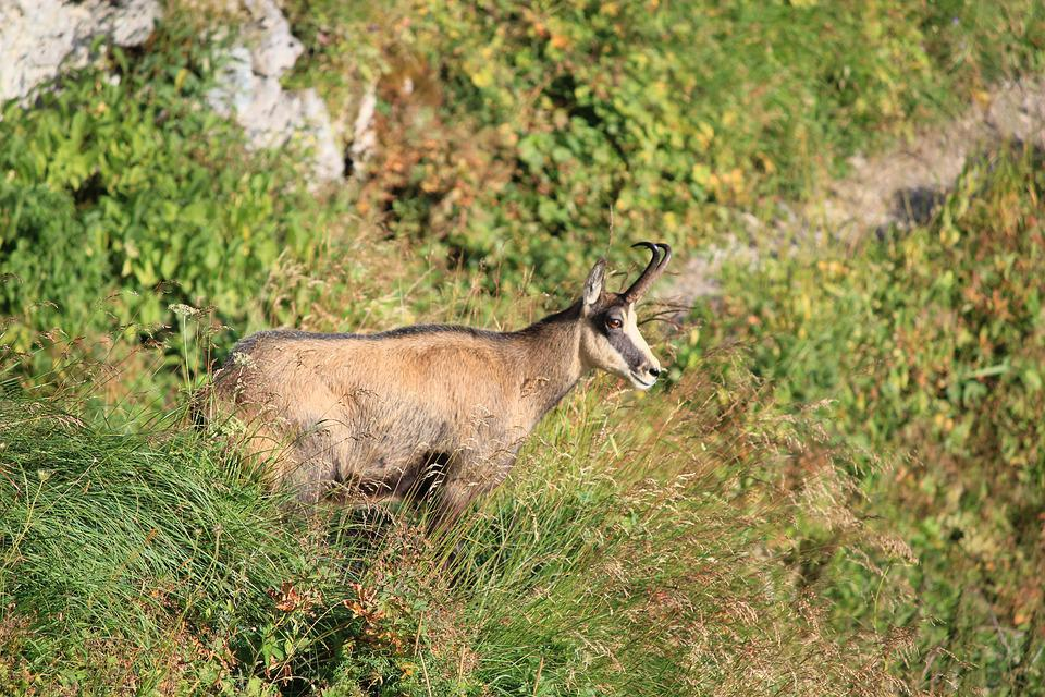 Goat, Mountaineering, Trail, The Path, On The Trail