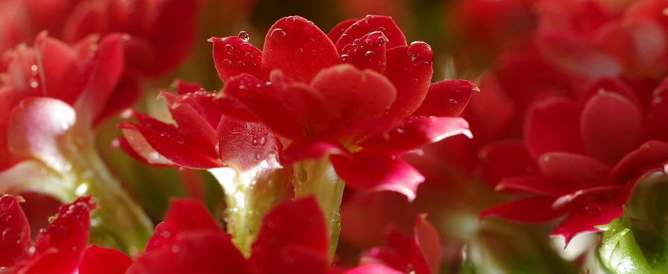 Red, Flower, The Petals, Drops, Potted, Purple, Minor