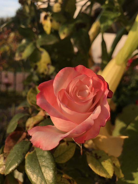Rose, Nature, Flower, Romantic, The Petals, Beauty