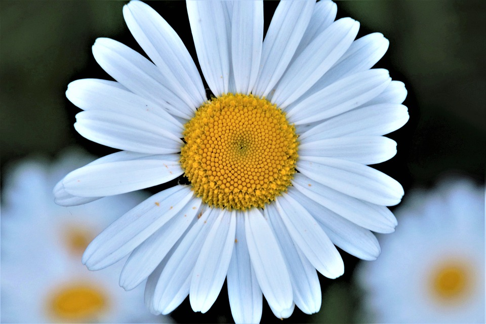 Daisy, The Petals, Chamomile, White, May, Romantic