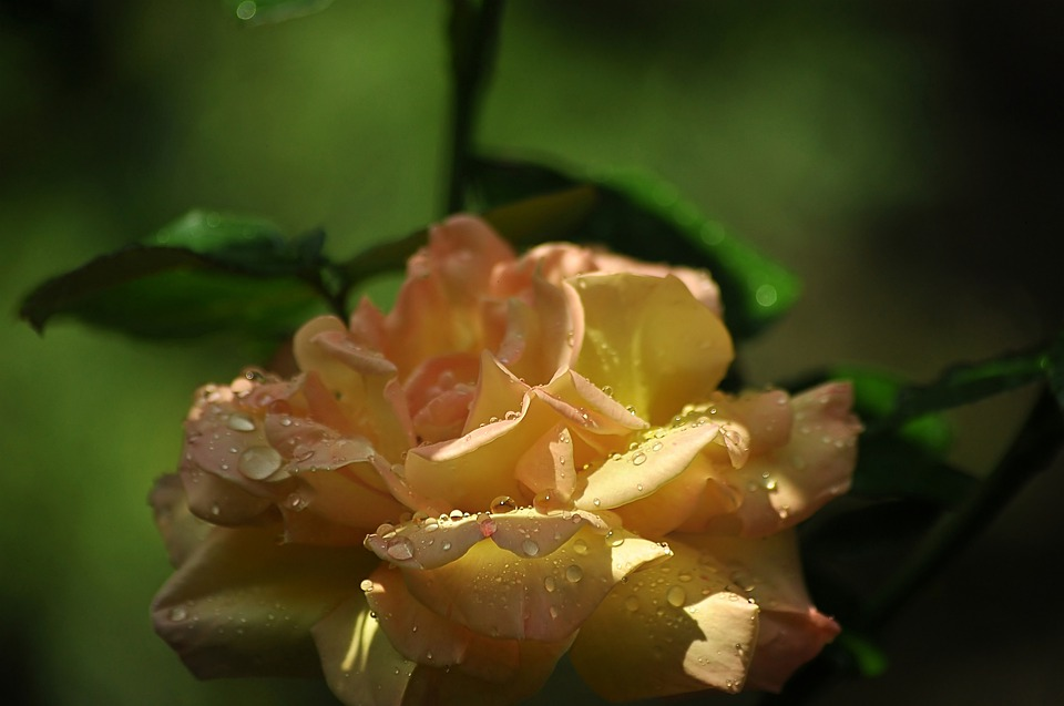 Yellow Rose, On A Green Background, The Picturesque