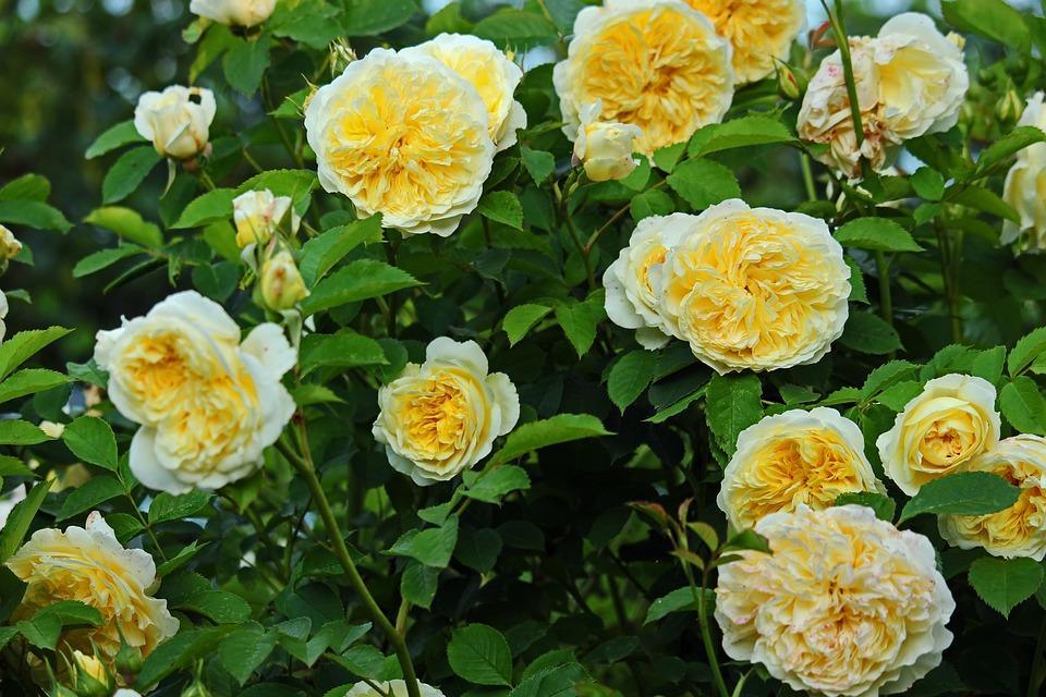 Yellow Rose, Rose, Garden Rose, The Pilgrimm