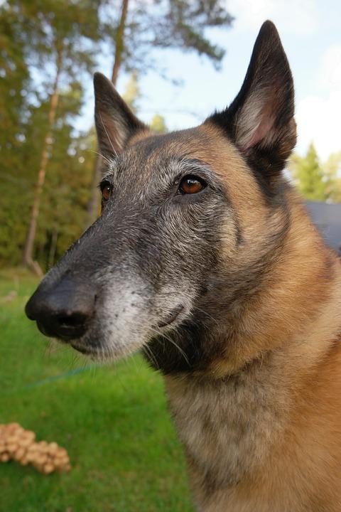 Dog, The Pleasure Of, The Muzzle, Belgian Shepherd Dog