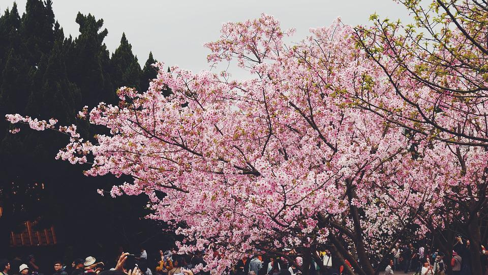 Cherry Blossom, Travel, The Scenery, Mountain, Visitor