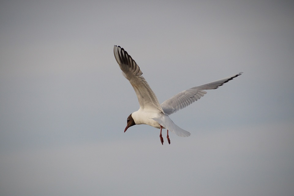 The Seagull, Sea Bird, Flies, In Flight