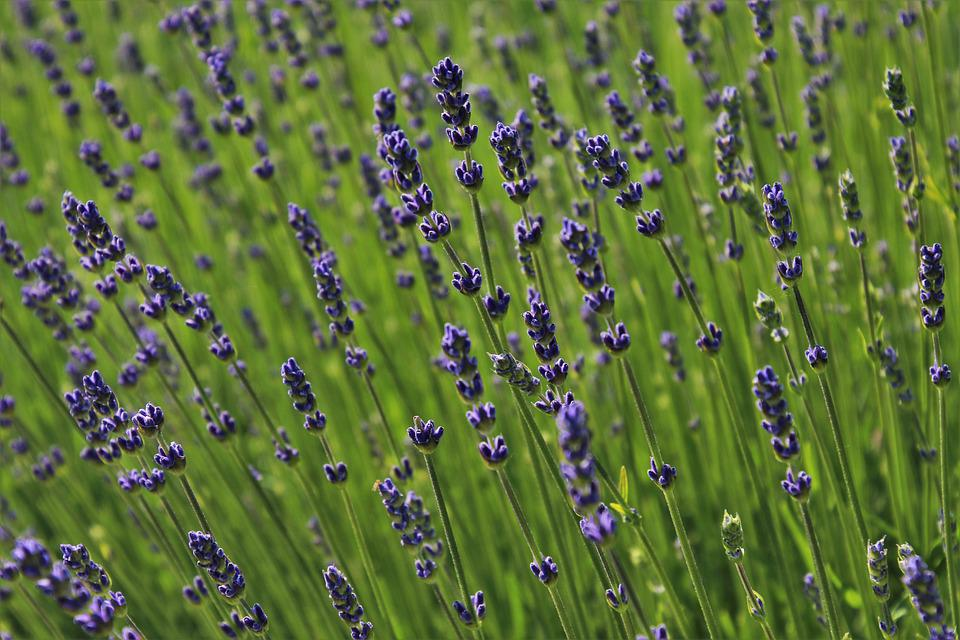 Lavender, The Smell Of, The Lavender Flower, Blooming