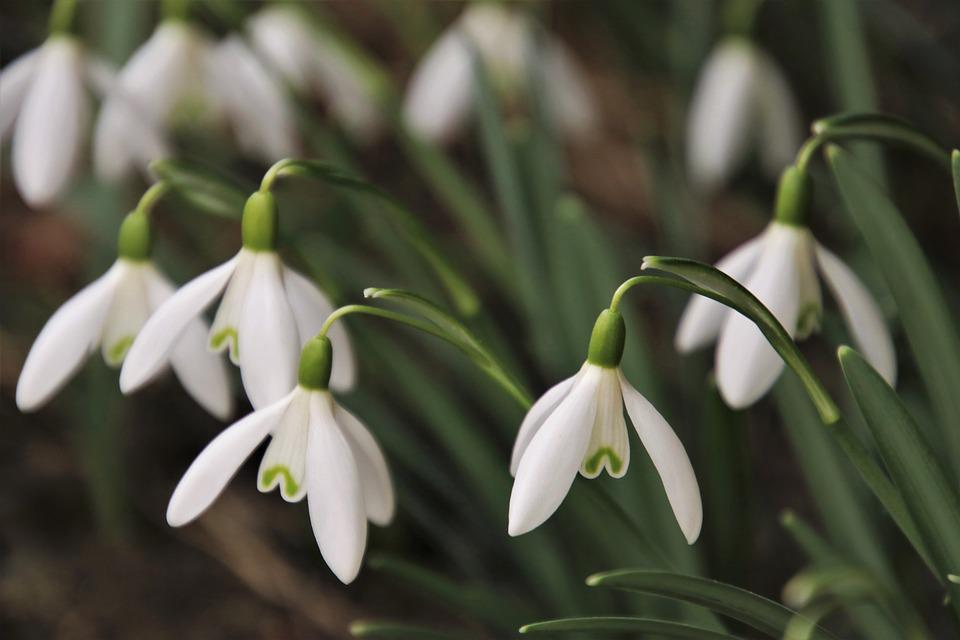 The Smell Of, The Awakening, Closeup, Snowdrops, March