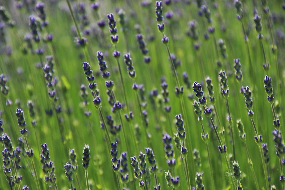 Lavender, The Smell Of, Blooming, Fragrant, Violet