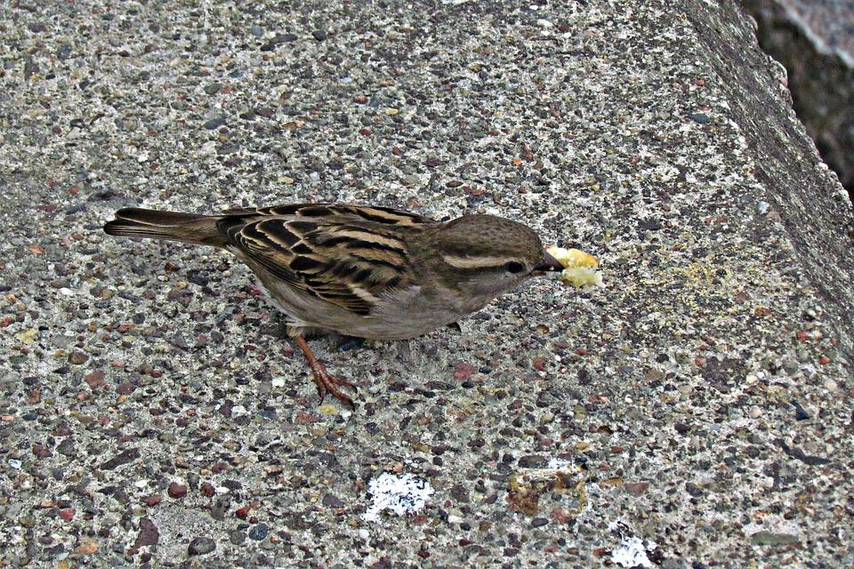 Wróbelek, Bread, Bird, Spout, Pen, The Sparrow, Young