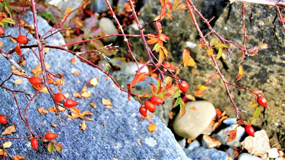 The Stones, Flowering Plants, Rose, Wild