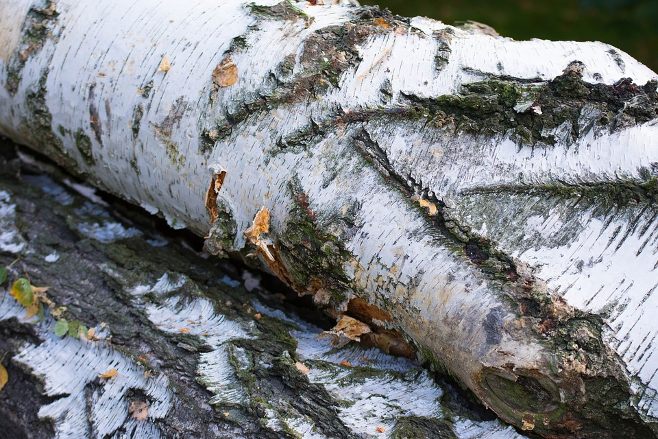The Bark, Tree, Birch, Trunk, The Structure Of The