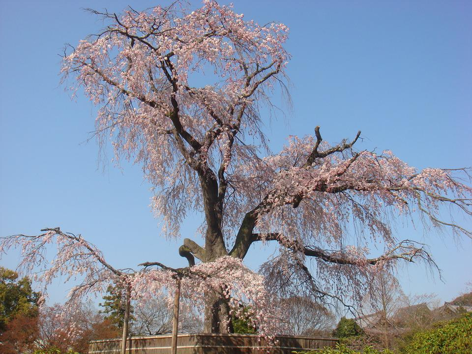 Beijing, Cherry Blossom, The Summer Palace, Spring