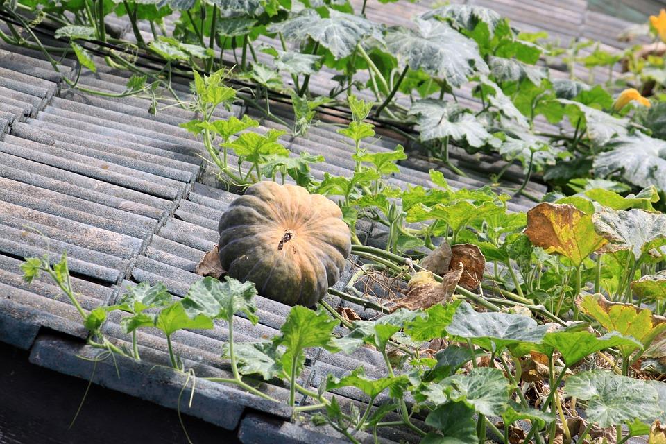 Pumpkin, The Vine, Vine, Roof, Old Pumpkin