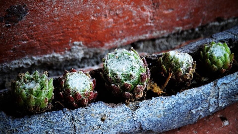Succulents, Houseleek, Thick Sheet Greenhouse, Reddish