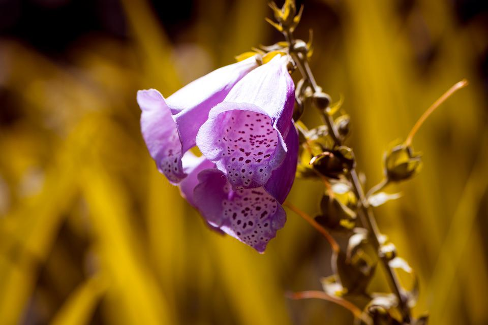 Thimble, Common Foxglove, Flower, Flowers, Nature