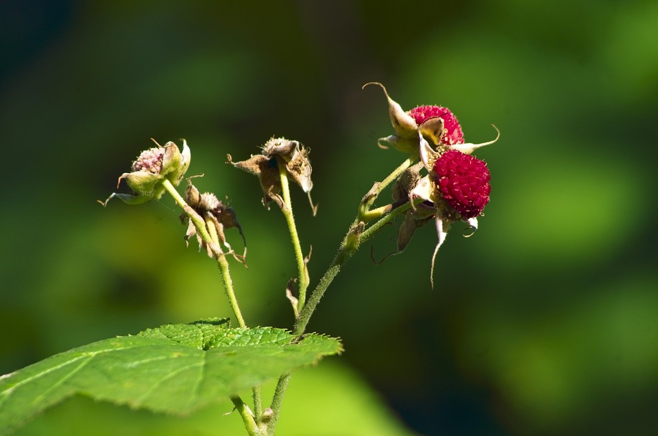 Thimbleberries In Cascade Canyon, Berries, Fruit