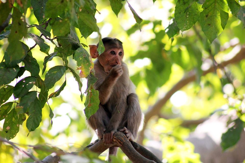 Monkey, Thinking, Branch, Sitting, Ape, India, Jungle