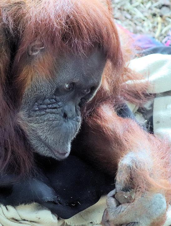 Animal, Orangutan, Zoo, Thinking