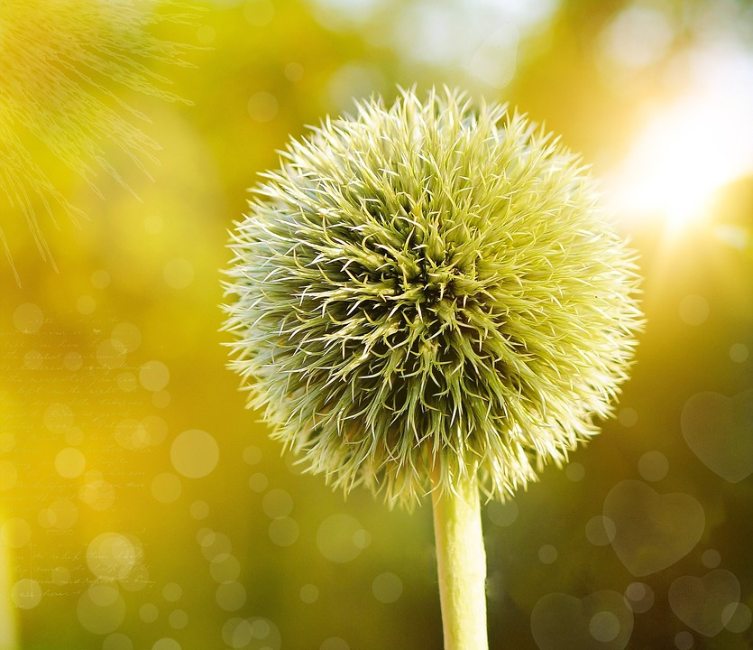 Globe Thistle, Thistle, Plant, Flower, About, Bokeh