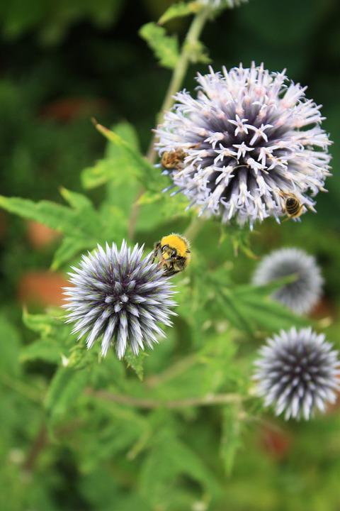 Thistle, Prickly, Spiny, Spur, Bumblebees
