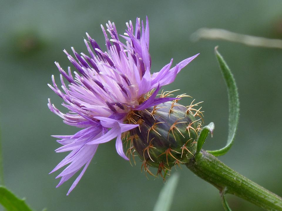 Thistle, Detail, Beauty