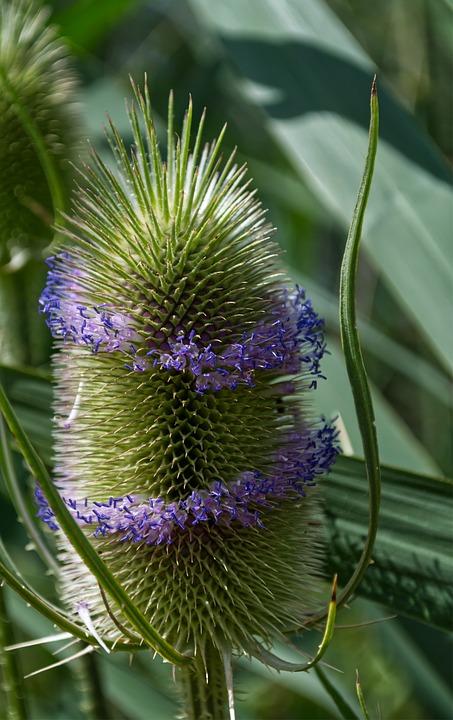 Thistle, Blossom, Bloom, Green, Flower, Nature, Plant