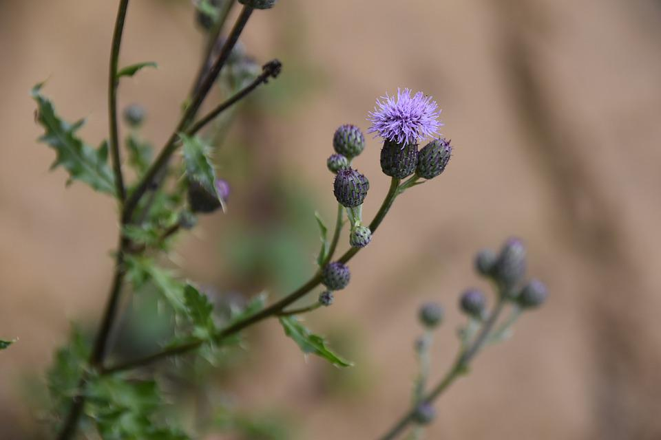 Thistle Flower, Green Leaves Spicy, Flower Color Purple