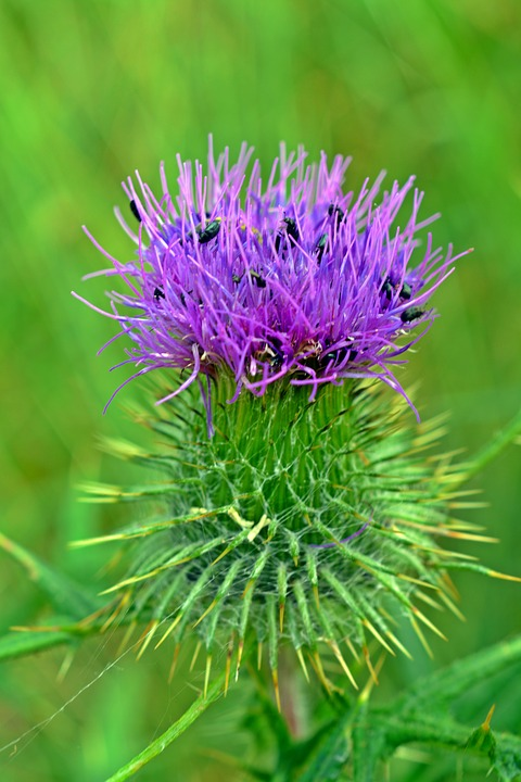 Thistle, Thistle Flower, Close, Beetle, Insect, Plant