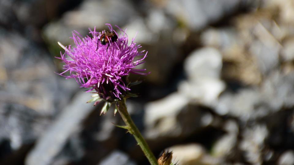 Macro, Close Up, Flower, Beetle, Thistle, Plant, Insect