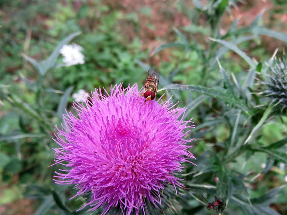 Thistle, Blossom, Bloom, Insect, Close Up, Summer