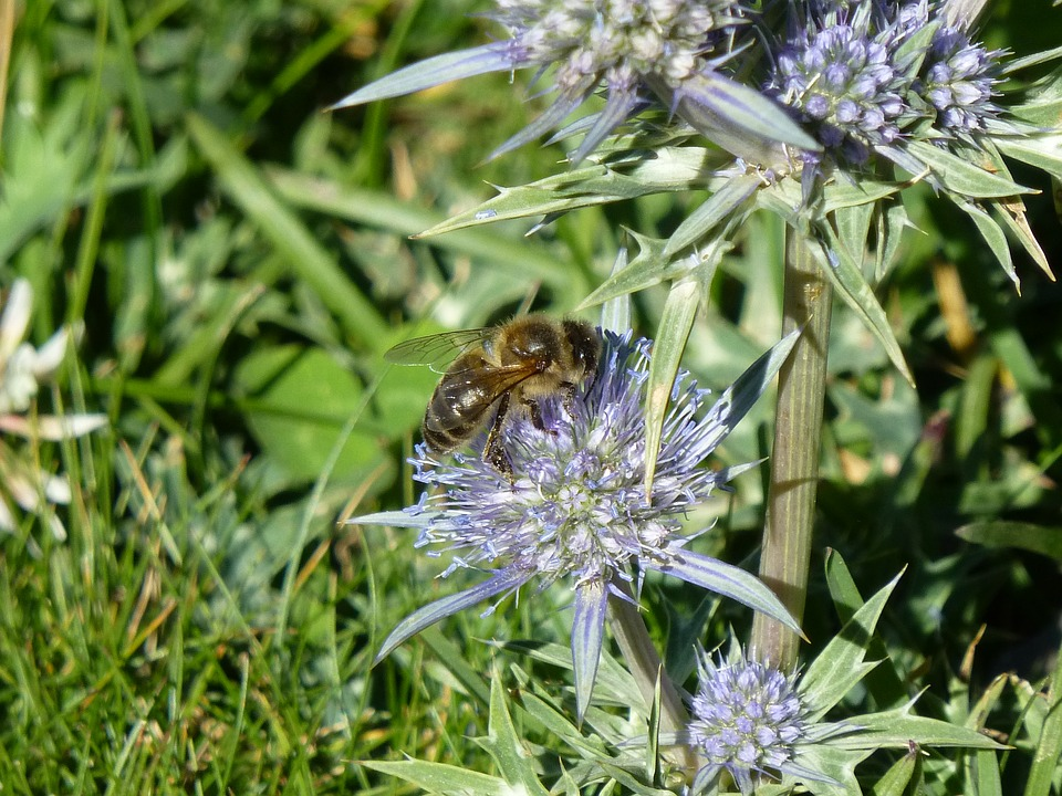 Nature, Pollination, Insects, Bee, Thistle