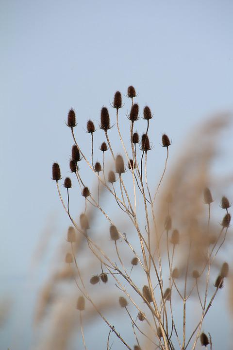 Thistle, Flowers Dry, Nature, Marais Poitevin, Charente