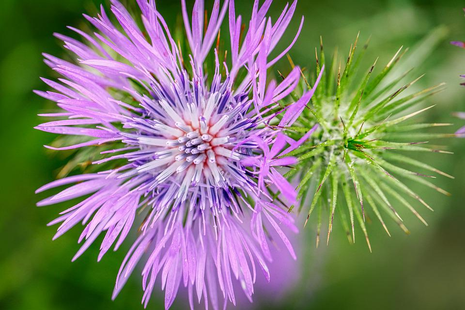 Thistle, Blossom, Bloom, Flower, Weed, Plant, Flora