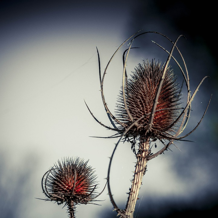 Thistle, Nature, No Person, Plant, Barbed