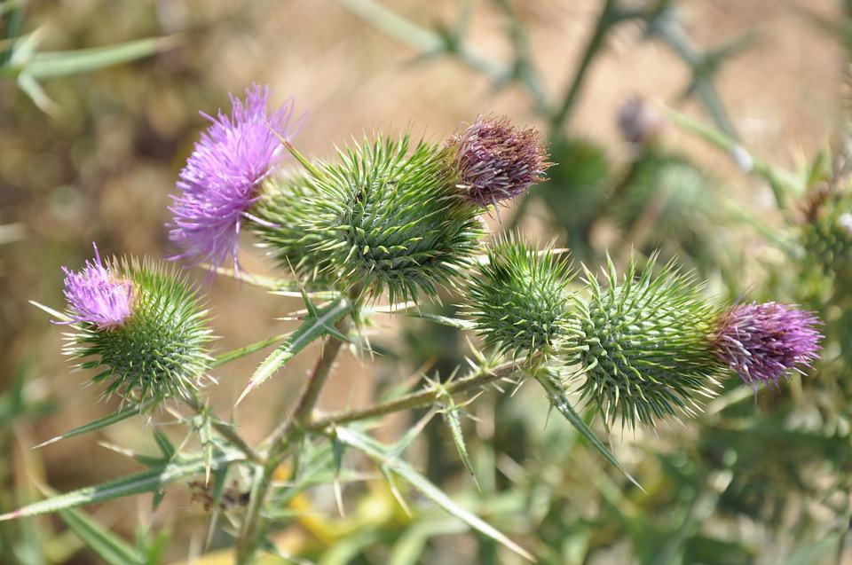 Nature, Plant, Thistle, Flower