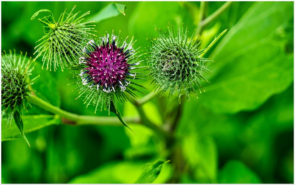 Thistle, Sting, Prickly, Thistle Flower, Flower Spikes