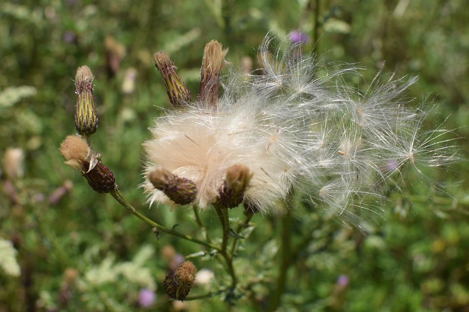 Thistle, Seeds, Nature, Faded, Seeds Was, Thistle Seed