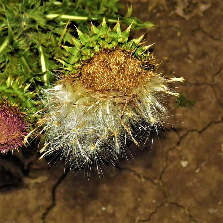 Thistle Seeds, Flower, Nature, Wild