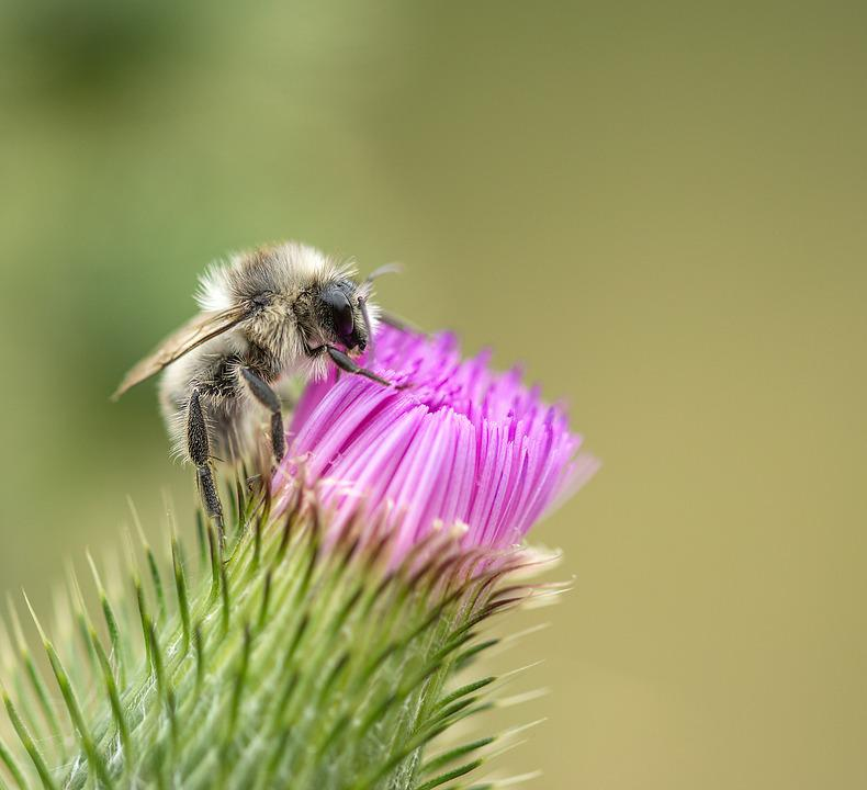 Bee, Thistle, Rest, Insect, Thistle Flower, Purple