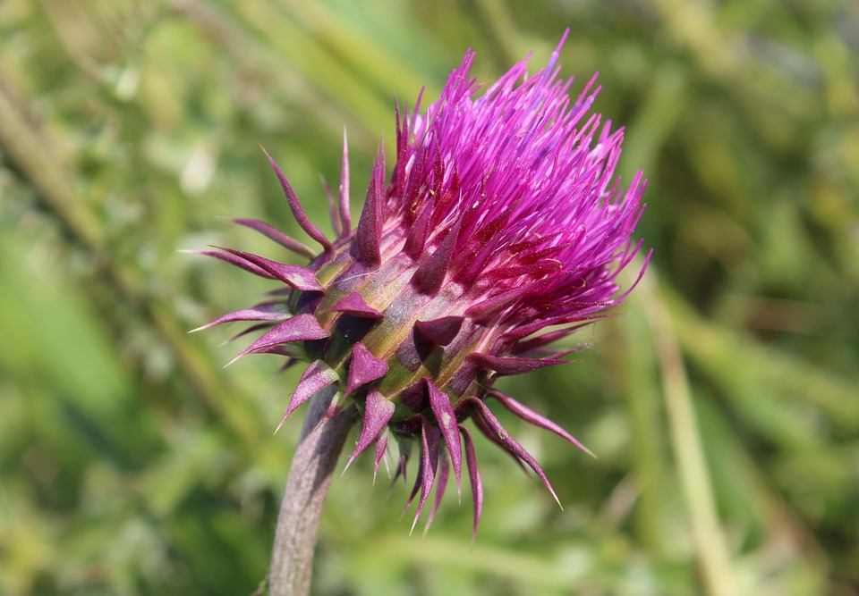 Barb, Thistle, Thistle Spiny, Wild Plant, Nature, Plant