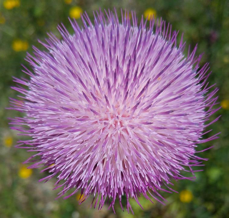 Wild Flower, Purple, Thistle, Nature, Flower, Plant